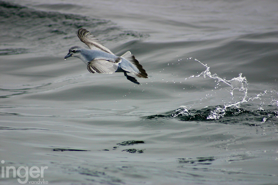 Fairy Prion in Flight off Tasmania