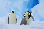 Emperor penguin adults and chick, Patriot Hills, Antarctica