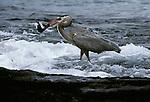Great blue heron, Washington