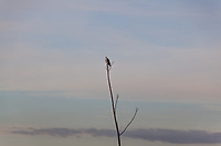 From the highest point around,, a White-tailed kite surveys its surroundings against a pastel sky.