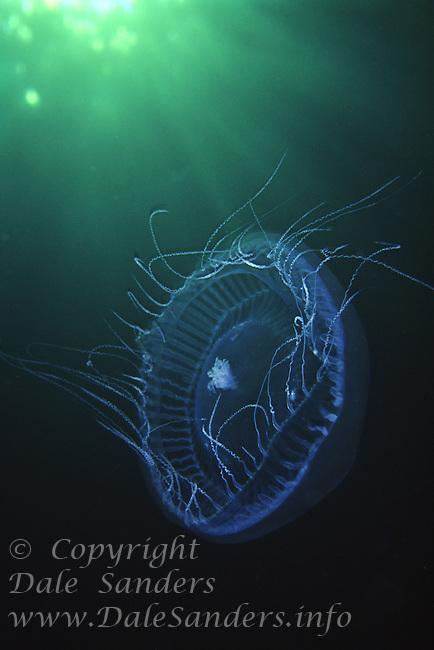 Water Jellyfish (Aequorea victoria), British Columbia, Canada.