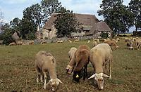 Europe/France/Auvergne/43/Haute-Loire/Moudeyres: Ferme des frères Peyreles et moutons