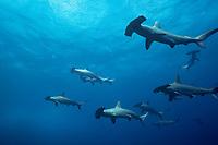 schooling scalloped hammerhead sharks, Sphyrna lewini, Mikomoto Island, Shizuoka, Japan, Pacific Ocean