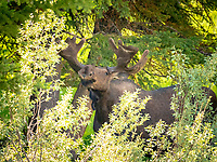 moose or elk, Alces alces, bull, foraging near the Gros Ventre River, Grand Teton National Park, Wyoming, USA