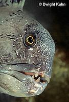 TP07-002z  Wolf Fish - Anarhichas lupus
