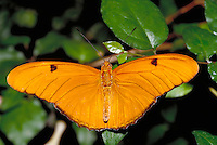 "DRYAS IULIA, """"Julia Butterfly"""", male, Subfamily - Heliconiinae; Family - Nymphalidae; Order - Lepidoptera; C - Insecta.  Range - Neotropical to southern USA. Host plants - Passiflora (several species). NEW ORLEANS LA USA AUDUBON ZOO."