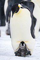 Snow Hill Island, Antarctica. Emperor penguin parent with chick on feet tucked in brood pouch.