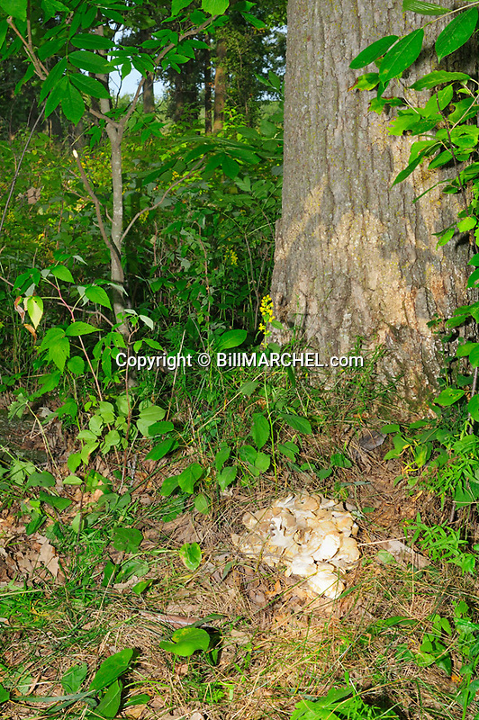 00792-002.08 Hen-of-the-Woods Mushroom is growing from typical location at base of bur oak tree.