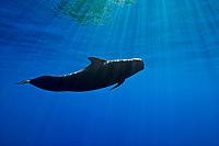 silhouette of short-finned pilot whale, Globicephala macrorhynchus, Kona Coast, Big Island, Hawaii, USA, Pacific Ocean