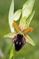 Vorgebirgs-Ragwurz, Ophrys promontorii, Promontory Orchid, Ophrys du promontoire, Ragwurzen, Kerfstendel, Mimikry, Lockmimikry