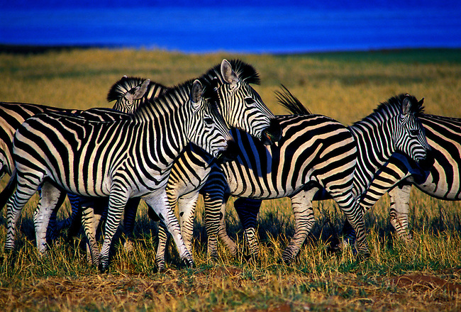 Burchell's zebras (Equus burchelli), Bumi Hills Area at Kariba Lake, Mashonaland West Province, Zimbabwe, Africa