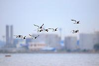 Far Eastern Oystercatcher (Haematopus ostralegus). Geum Estuary, South Korea. October.