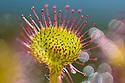 Round-leaved sundew {Drosera rotundifolia}. Isle of Mull, Scotland, UK. June.