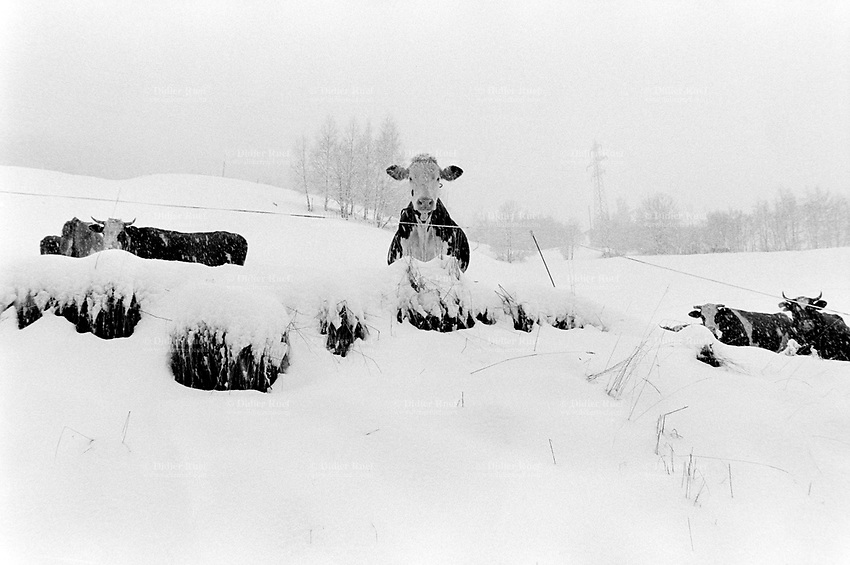 Switzerland. Canton Valais. Euseigne. Hèrens valley. Snow. Organic farmers are obliged by the swiss law to let their cows be outside in the winter season once a day. Simmental Cattle. Swiss alpine farmers. Alps mountains peasants.  © 1995 Didier Ruef