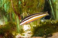 Meerjunker, Mittelmeer-Junker, Weibchen, Coris julis, Labrus julis, Mediterranean rainbow wrasse, Rainbow wrasse, Mediterranean rainbowfish, female, Lippfische, Labridae