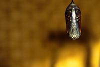 Monarch butterfly caterpillar chrysalis ready to open Danaus plexippus