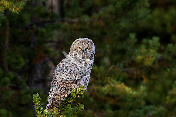 Great Grey Owl or Lapland Owl (Strix nebulosa).  Northern U.S. Rocky Mountains.  October.