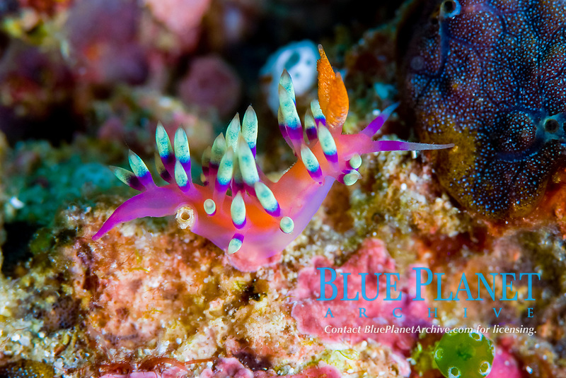 Purple banded flabellina, Flabellina exoptata, colourful nudibranch moving over the coral, found on relatively shallow reefs, Raja Ampat, West Papua, Indonesia