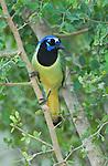 Texas, Rio Grande Valley, Green Jay (Cyanocorax yncas)