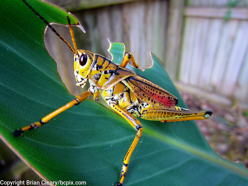 A Southeastern Lubber Grasshopper muches on a leaf in Holly Hill, FL.  (Photo by Brian Cleary/www.bcpix.com)