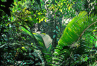 Tropical Rain Forest in Amazon Region, Dept. Loreto, Peru, South America; palm is Attalea sp