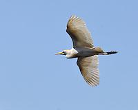 Cattle Egret, Alligator Farm, St. Augustine, Florida
