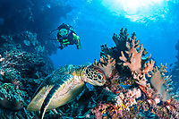 green sea turtle, Chelonia mydas, and woman scuba diver, Great Barrier Reef, Coral Sea, Queensland, Australia, Coral Sea, Pacific Ocean
