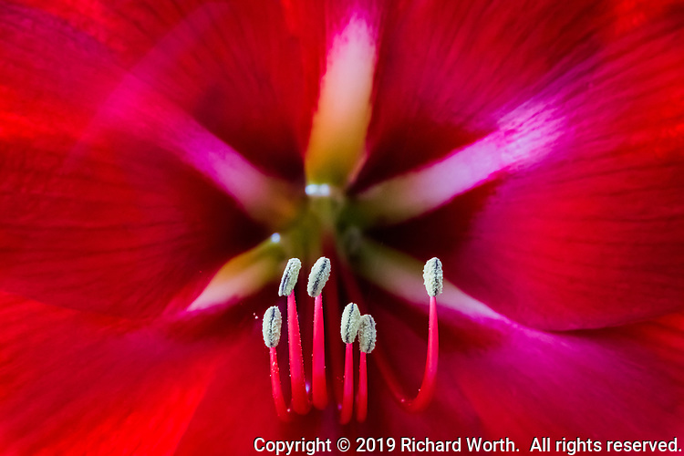 Stamen, topped by  anthers robust with pollen, stand like a six member choir at the heart of a brilliant red amaryllis flower.