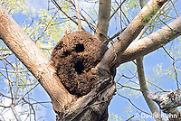 0101-1201  Arboreal Termite Nest (Central American Jungle), Drywood Termite  © David Kuhn/Dwight Kuhn Photography
