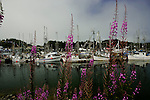 Ucluelet, British Columbia lies at the south end of Canada's Pacific Rim National Park along the north shore of Barkley Sound.  The harbor is home to commercial and sport fishing fleets and a jump off point to Kayak the Broken Island group.  Fireweed lines the quay.