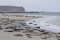 Seehund und Kegelrobbe, Kegel-Robbe und See-Hund am Strand, Helgoland, Düne, Halichoerus grypus, Grey Seal, Phoque gris und Phoca vitulina, Common seal, Phoque veau marin