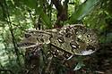 Madagascar Tree Boa (Sanzinia madagascariensis) coiled in forest understorey. Montane rainforest, Marojejy National Park, north east Madagascar.