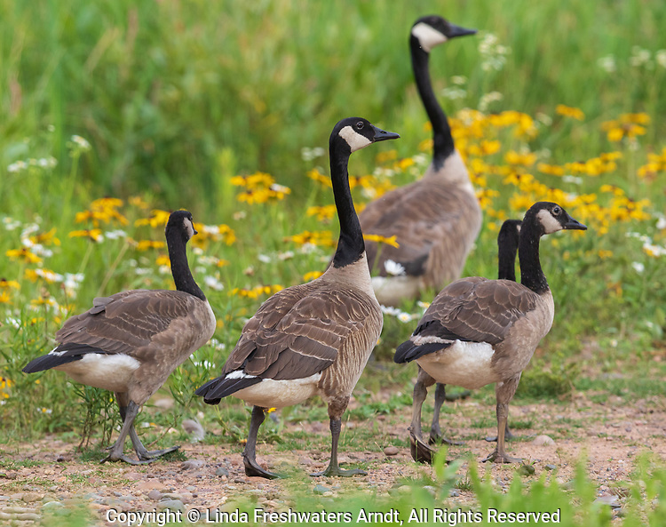 Family of Canada geese in northern Wisconsin.
