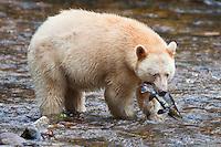 "Kermode ""Spirit"" Bear carrying a Pink Salmon"