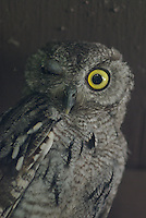 A wild Western Screech-Owl seen with a infected eye. The owl spent a few sleeping days under a friends back patio, in Tucson Arizona.