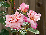 Orchid Masterpiece climbing Rose, Rosa hybrid tea