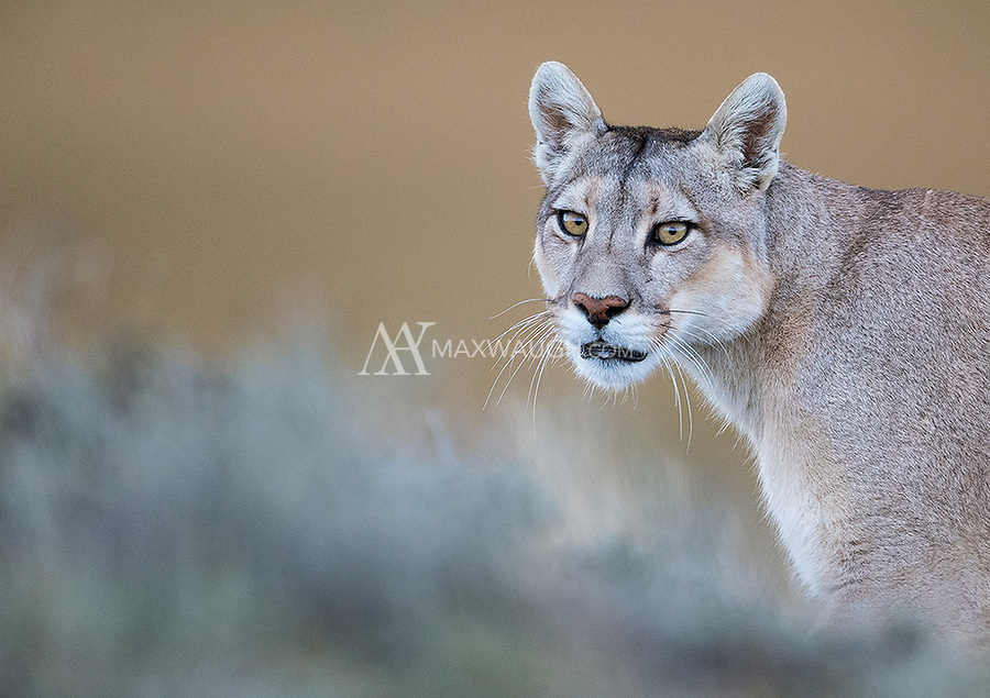 After her cubs settled down, the mother finally emerged to go get dinner on her own. She ended up walking right by me.