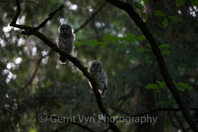 Fledgling Barred Owl (Strix varia). King County, Washington. May.