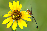 Insects: dragonflies F-R (common names)