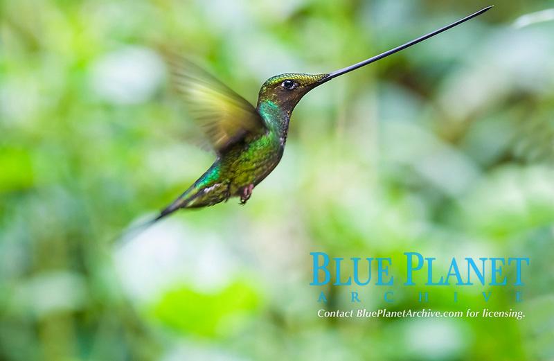 sword-billed hummingbird, Ensifera ensifera, Papallacta, Napo Province, Ecuador, South America