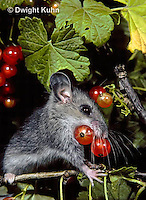 MU50-076z  Deer Mouse - young eating berries - Peromyscus maniculatus