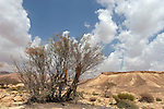 T-067 Moringa Peregrina in Wadi Gov