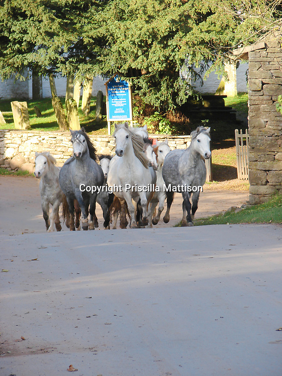 Wales, November 2, 2006:  A group of horses come over a bridge in a Welsh village.