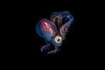 Blanket octopus larva, Tremoctopus violaceus