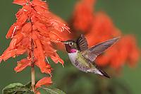 Broad-tailed Hummingbird, Selasphorus platycercus,male in flight feeding on Red Salvia (Salvia splendens),Rocky Mountain National Park, Colorado, USA