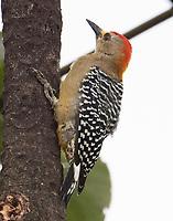Male Hoffmann's woodpecker