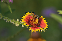 Digger Bee (Anthophora spp) Anthropodidae, adult feeding on Indian Blanket, Fire Wheel (Gaillardia pulchella), Texas, USA