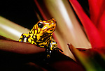 Harlequin poison arrow frog, Venezuela