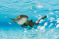 nurse shark, Ginglymostoma cirratum, with a school of juvenile horse-eye jacks, Caranx latus, Bahamas, Atlantic Ocean