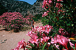 Italie. Italia. Sardaigne. Sardinia.balade entre .t lauriers roses en descendanrt vers la calanque de Cala Luna